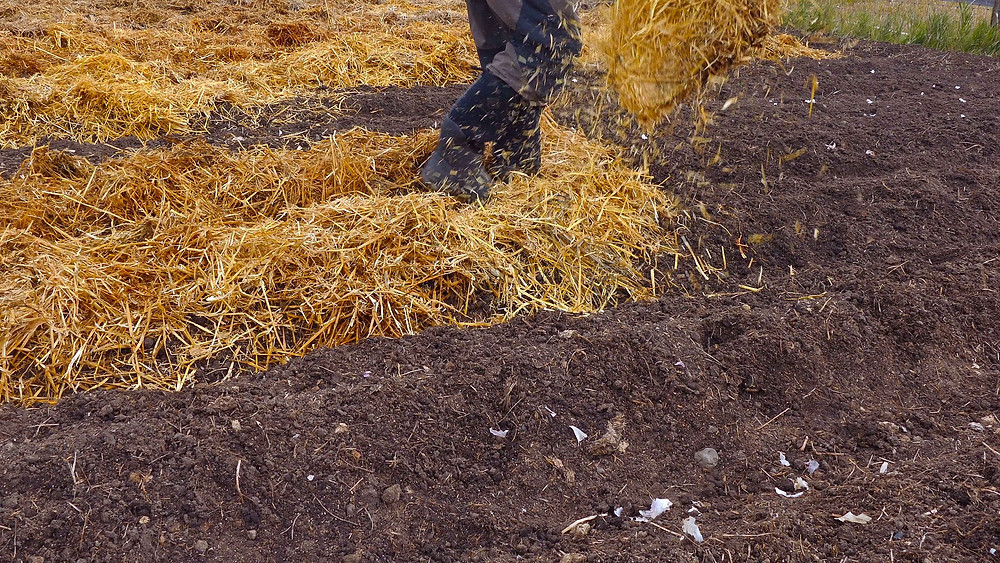 Mulch the garlic patch heavily, 4-6 inches thick, with straw or leaves. This mulch will protect the tender cloves through the winter.