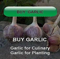 Gourmet Garlic Bulbs to Plant and Eat Buy Garlic Garlic for Culinary and Health Benefits Garlic Bulbs