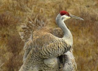 Sandhill Cranes Rattling Bugle Calls