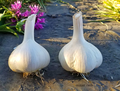 garlic seed, organic garlic seed, garlic seed for sale, garlic seed cloves, garlic seed foundation, garlic stardew, garlic seed stock, garlic seed amazon, amazon garlic, seed exchang garlic,garlic oil, garlic recipe