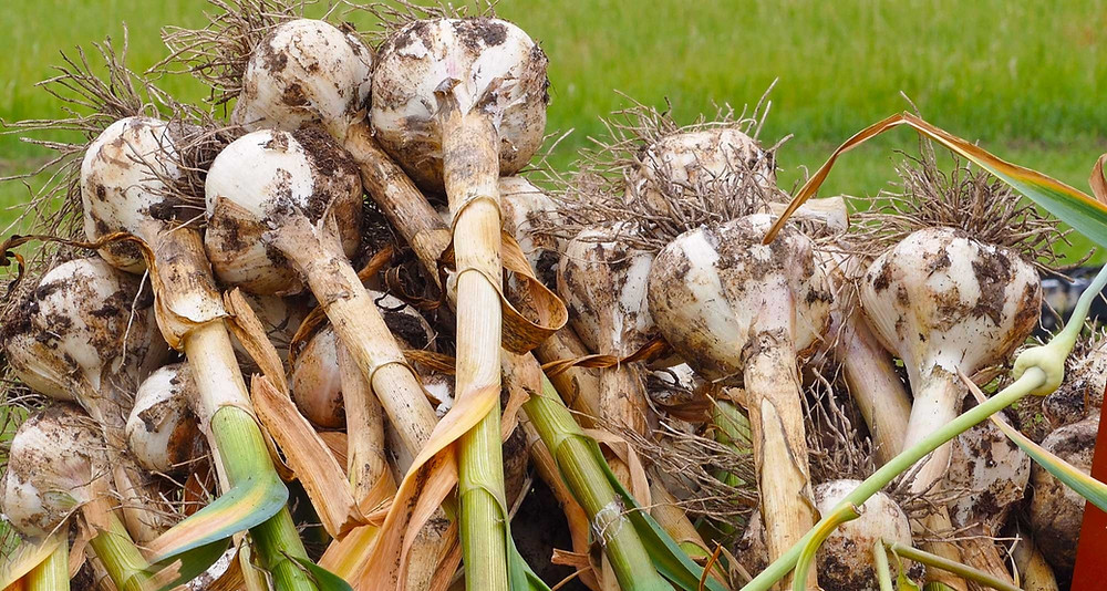 watering garlic after planting spring garlic buy can you plant garlic in june hand garlic planter growing garlic from grocery store can you grow garlic in the spring winter garlic bulbs onion and garlic bulbs can you grow garlic from a garlic clove what month to plant garlic fertilizing garlic in spring giant garlic bulbs garlic plant at home when to harvest spring garlic can you plant garlic in may solo garlic for sale bulk garlic bulbs can you plant garlic in the fall garlic distributors what can be planted with garlic where to get garlic to plant black garlic bulbs for sale watering garlic plants garlic bulbs to buy what happens when you plant a garlic clove garlic bulb flower planting garlic in june gourmet garlic bulbs for sale what to grow after garlic can you plant garlic bulbs from the grocery store planting garlic in may buy organic garlic for planting can you grow black garlic best place to grow garlic where can garlic grow when should i plant my garlic where to buy planting garlic garlic for plants what month to harvest garlic fall garlic bulbs can i plant garlic in april growing a garlic clove planting garlic bulbs in pots growing garlic in containers outdoors can garlic be planted in pots can you grow garlic from store bought garlic can i grow garlic from the grocery store days to harvest garlic red russian garlic for sale grow own garlic where to buy organic garlic bulbs for planting where to plant garlic in garden what happens when you plant garlic onion and garlic sets can u grow garlic from a clove can store bought garlic be planted types of garlic to grow when to harvest garlic plant hot to grow garlic when can you grow garlic can you grow garlic from store bought cloves growing garlic from cloves in pots organic garlic sets can you plant garlic in april large garlic bulbs potting garlic when to harvest garlic planted in october when to plant winter garlic can you grow garlic in summer what to plant garlic with when to harvest garlic bulbils german garlic plant when to start growing garlic can i grow garlic in water can i grow garlic from store bought cloves growing garlic in pots outdoors what to plant after garlic harvest grow my own garlic heritage garlic garlic in winter what can you grow with garlic can i plant garlic now spring garlic bulbs can you grow garlic at home growing elephant garlic from bulbils best way to grow garlic outdoors when to start planting garlic can you plant garlic in early spring can you grow garlic from a garlic bulb what grows with garlic bulk garlic bulbs for sale where to buy elephant garlic for planting garlic gardening for beginners russian garlic for sale can you grow your own garlic which way to plant garlic bulbs when to plant garlic outside planting garlic in april watering garlic in pots best month to plant garlic growing elephant garlic in pots planting garlic cloves from grocery store when can i plant garlic outside growing garlic from garlic cloves heirloom garlic bulbs for planting storing garlic bulbils garlic planting in fall soil for garlic bulbs the garlic garden