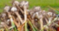Garlic, cure, dry,drying, garlic for planting near me,garlic for planting for sale,garlic for planting bulk,garlic for planting canada,garlic for planting now,garlic for planting ireland,garlic for planting uk,garlic for planting,garlic for planting nz,garlic for planting australia,garlic planting bulbs,garlic planting bc,garlic planting board,garlic planting basics,garlic planting baking soda,garlic planting barrel,garlic planting by,garlic for beard grow,garlic plant belongs to the family,garlic for autumn planting,garlic planting and harvesting,garlic planting adelaide,garlic planting at home,best garlic for autumn planting uk,garlic bulbs for autumn planting,best garlic for autumn planting,garlic companion planting australia,garlic harvest and storage,garlic bulbs for planting canada,garlic planting companions,garlic planting calculator,garlic planting conditions,garlic planting calendar,garlic planting canberra,garlic planting chart,garlic planting cost,garlic plant care,garlic