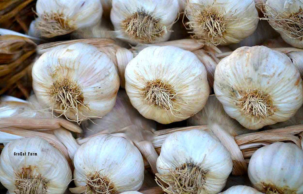 rocambole, garlic seed for sale, garlic farm, silverskins, garlic sales, garlic organic, garlic farm, blossom garlic, rocambole garlic, garlic farm near me, inchelium red garlic, ajo rojo, organic asparagus, garlic for planting for sale, organic garlic for sale near me, organic garlic for sale, creole garlic, filaree farms, where to buy garlic for planting, hardneck garlic for sale, buy garlic to plant, shallots sets, garlic buy, garlic bulbs for sale, garlic plants for sale, farming garlic, purple stripe garlic, where to buy garlic to plant porcelain garlic, garlic for planting, garlic bulbs for planting, elephant garlic for sale, nootka rose garlic, organic garlic bulbs, fresh organic garlic, silverskin garlic, organic garlic for planting, artichoke garlic, garlic plant for sale, garlic cloves for planting,romanian red garlic,spring planted garlic,chesnok red garlic,heirloom garlic bulbs,metechi garlic,khabar,buy garlic online,garlic mesh bag,asparagus crowns for sale organic,carpathian garlic,garlic for sale online,garlic to plant,persian star garlic,how many garlic bulbs in a pound,persianstar,where to buy garlic,wholesale garlic,shallots bulbs,garlic spacing,ajo rojo garlic,inchelium red,creole red garlic,organic garlic cloves,where to buy organic garlic,creole garlic for sale,thermadrone garlic,organic shallots,garlic spanish roja,elephant garlic,french grey shallot,music garlic for sale,how many garlic cloves in a pound,how many cloves of garlic in a pound,siberian garlic,plant garlic spacing,portuguese garlic,organic planting garlic,japanese garlic plant,spanish roja garlic for sale,garlic bulbs per pound,garlic suppliers,buying garlic in bulk,rose de lautrec garlic,shallot starts,polish white garlic,oregon blue garlic,garlic varieties for sale,siberian garlic for sale,aglio rosso garlic,sicilian garlic,chesnok red garlic for sale,filaree farm coupon code,penasco blue garlic,red sulmona garlic for sale,where to buy organic asparagus,burgundy garlic,thai garl