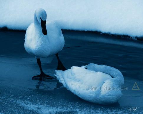 Trumpeter Swan Rest