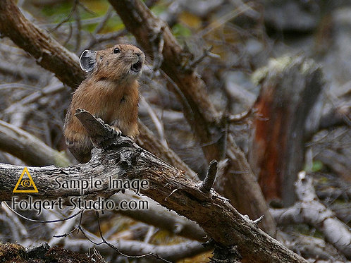 Pika Out on a Branch