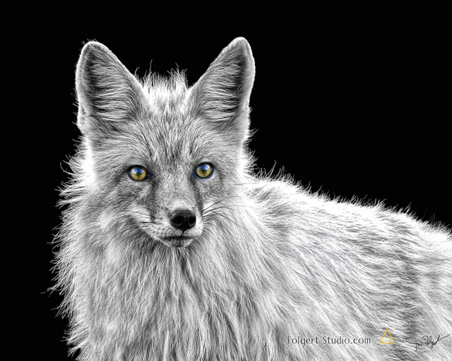 Fox on Black