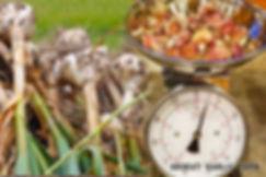 duganski, india, underground, planted in fall, root, cuisine, around the world, garlic powder, china, saffron, garlic, beer, wine, seed, italian, french, sex, aphrodisiac, polish, russian, harvest,