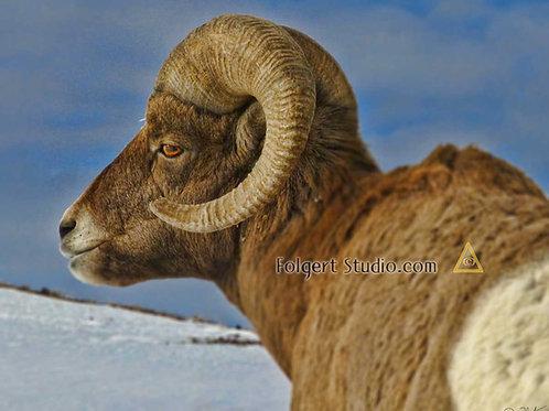 Bighorn Sheep Curl