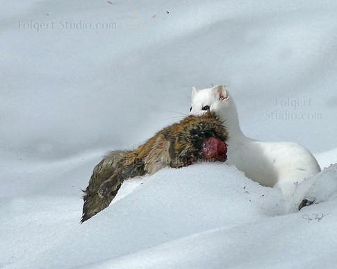 Weasel Flying Squirrel