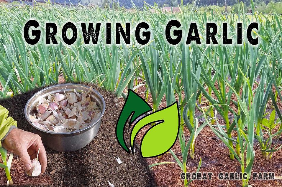growing garlic, growing garlic from seed, seed garlic, organic seed, fertilizer, nitrogen, soil, compost, soil preparation, soaking garlic, bacteria, disease, pointy side up, how deep to plant, garlic planting, fall planting, soil for garlic, fertilizer for garlic