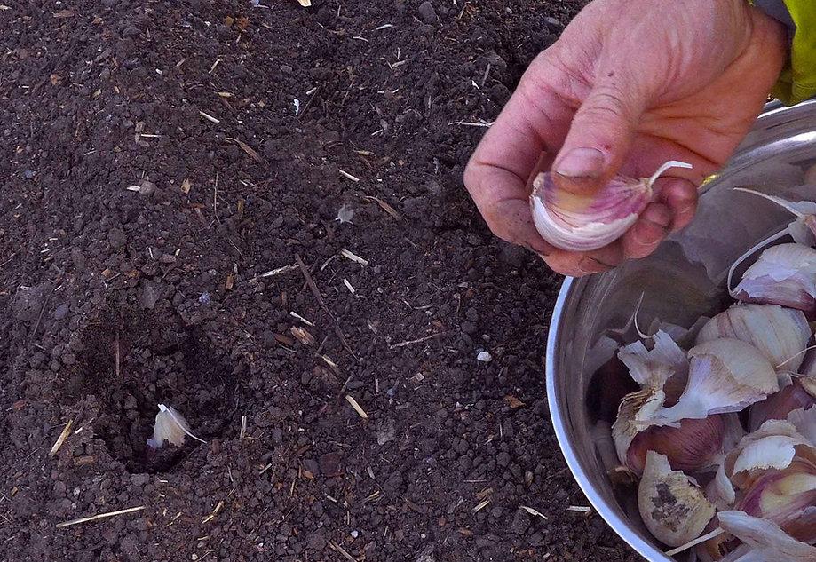 rocambole, garlic seed for sale, garlic farm, silverskins, garlic sales, garlic organic, garlic farm, blossom garlic, rocambole garlic, garlic farm near me, inchelium red garlic, ajo rojo, organic asparagus, garlic for planting for sale, organic garlic for sale near me, organic garlic for sale, creole garlic, groeat farms, where to buy garlic for planting, hardneck garlic for sale, buy garlic to plant, shallots sets, garlic buy, garlic bulbs for sale, garlic plants for sale, farming garlic, purple stripe garlic, where to buy garlic to plant porcelain garlic, garlic for planting, garlic bulbs for planting, elephant garlic for sale, nootka rose garlic, organic garlic bulbs, fresh organic garlic, silverskin garlic, organic garlic for planting, artichoke garlic, garlic plant for sale, garlic cloves for planting,romanian red garlic,spring planted garlic,chesnok red garlic,heirloom garlic bulbs,metechi garlic,khabar,buy garlic online,garlic mesh bag,asparagus crowns for sale organic,carpathi