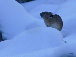 American Pika on Snow