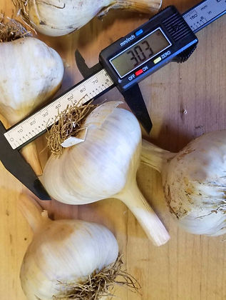 three-inch-garlic-size.jpg