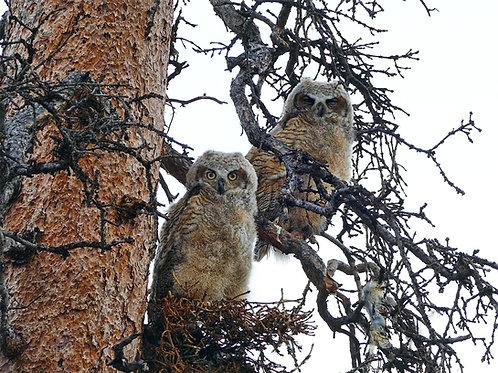 Great Horn Owl Mop Heads
