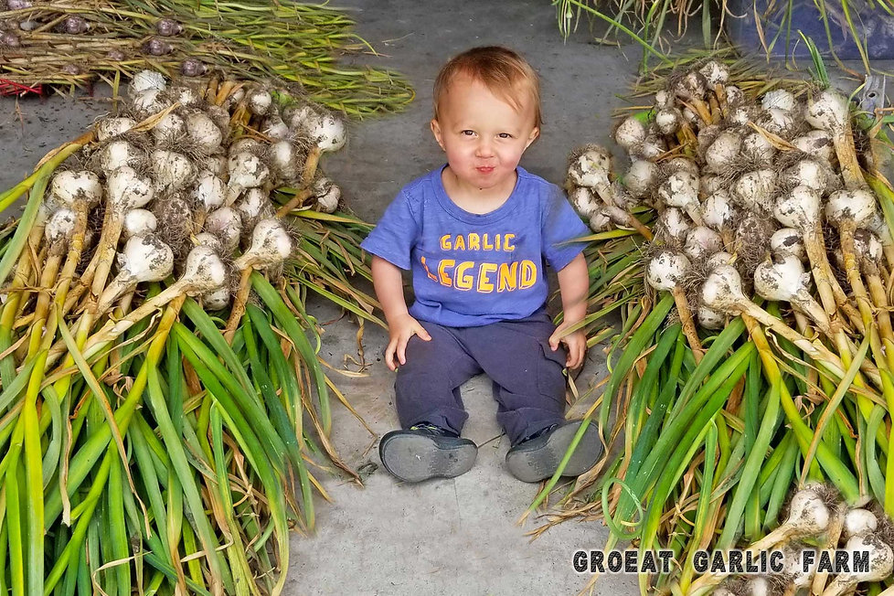garlic seed, garlic bulb, easy to grow, richly flavored, keep for 10 months, garlic spanish roja, flowering bulbs  heirloom garlic, organic garlic seed, Garlic Softneck vs Hardneck, johnnys seed, Garlic is an Allium, organic garlic bulbs