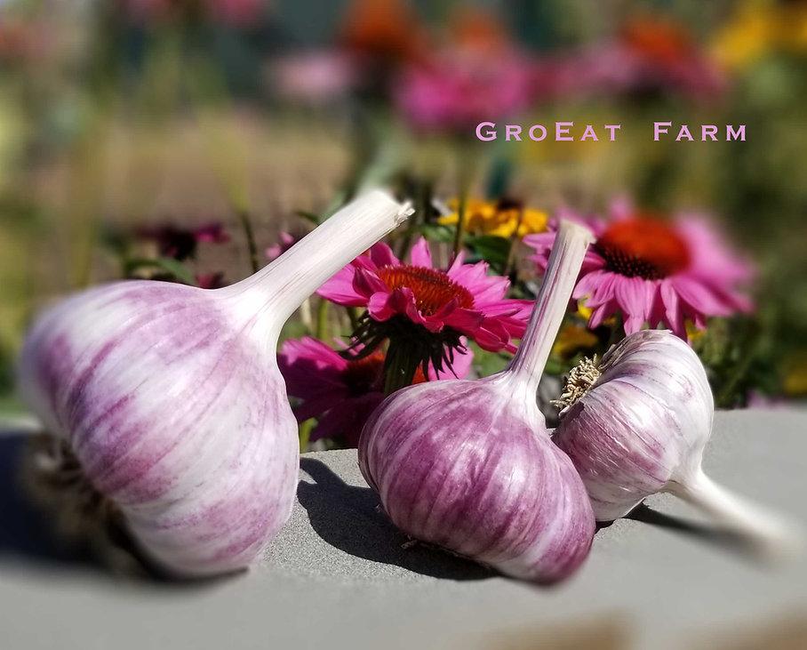 purple stripe, marbled purple, garlic, glazed purple, hardneck, order purple garlic, buy purple garlic, organic purple garlic, purple garlic near me, online purple garlic