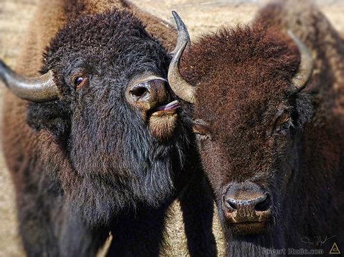Bison Secrets