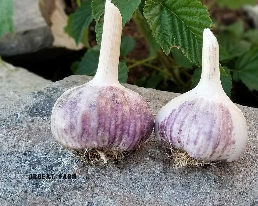 Rocambole Garlic, Spanish Roja, Garlic, order Rocambole Garlic, buy Rocambole Garlic, online Rocambole Garlic, Rocambole Garlic near me, get Rocambole Garlic