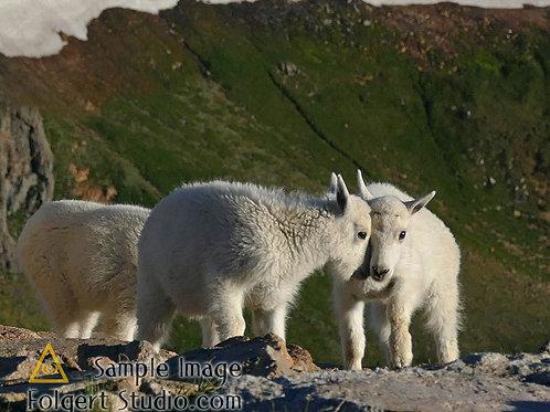 Baby Goats Eye to Eye