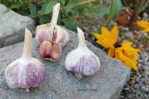 chinese garlic, italian garlic, mashed garlic, garlic thai, poondu benefits, health benefits of garlic, plant garlic seed, garlic video planting, plant garlic in the fall, spicy garlic
