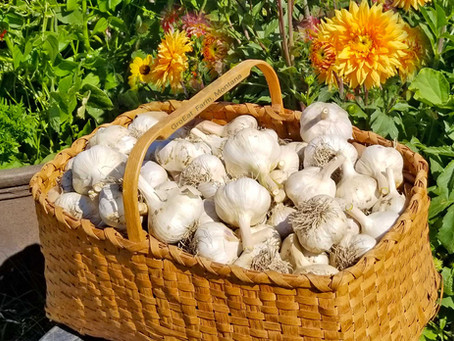 12 Mistakes To Avoid When Planting and Growing Hardneck Garlic !