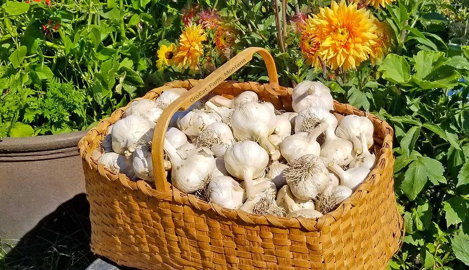 garlic farm near me, garlic farm, garlic for sale, garlic near me, garlic for sale near me, garlic bulbs for sale, bulk garlic, buy garlic online, soaking garlic, soaking garlic before planting, where to buy garlic bulbs, french garlic bread, where to buy male garlic, where to buy female garlic,  rosewood garlic, wholesale garlic, idaho garlic growers, garden state garlic growers, garlic growing kit, fresh garlic, fresh garlic near me, elephant garlic, soaking garlic cloves, montana garlic, garlic order online, cracked garlic, how deep to plant garlic, eating garlic scapes, sexy garlic, xnxx, grow garlic