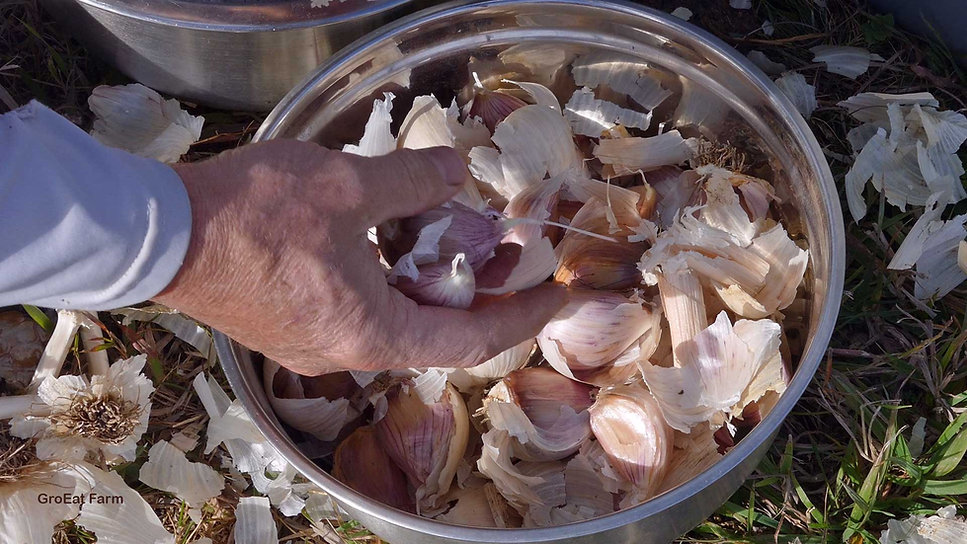 garlic for planting near me,garlic for planting for sale,garlic for planting bulk,garlic for planting canada,garlic for planting now,garlic for planting ireland,garlic for planting uk,garlic for planting,garlic for planting nz,garlic for planting australia,garlic planting bulbs,garlic planting bc,garlic planting board,garlic planting basics,garlic planting baking soda,garlic planting barrel,garlic planting by,garlic for beard grow,garlic plant belongs to the family,garlic for autumn planting,garlic planting and harvesting,garlic planting adelaide,garlic planting at home,best garlic for autumn planting uk,garlic bulbs for autumn planting,best garlic for autumn planting,garlic companion planting australia,garlic harvest and storage,garlic bulbs for planting canada,garlic planting companions,garlic planting calculator,garlic planting conditions,garlic planting calendar,garlic planting canberra,garlic planting chart,garlic planting cost,garlic plant care,garlic planting equipment,garlic pl