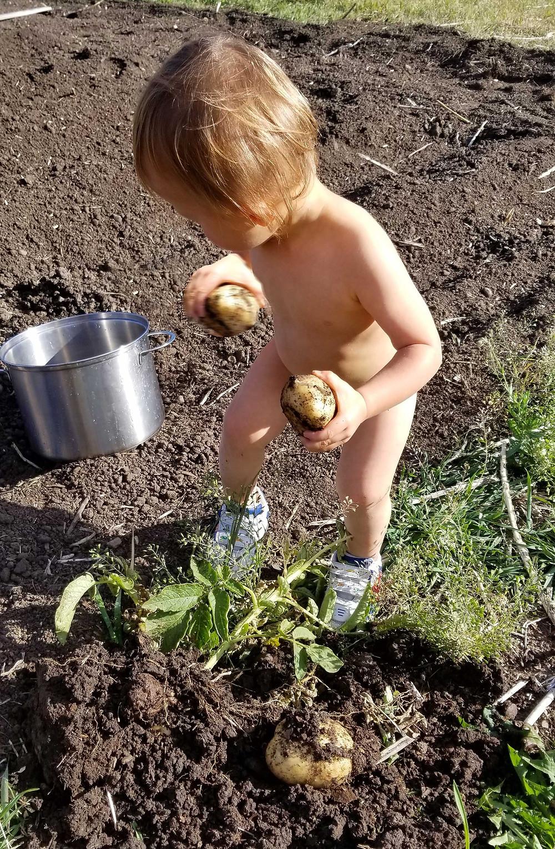 harvest, garden, soil, bacterial, spuds, russet, garden soil, benefits