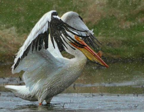 Pelican Flakes