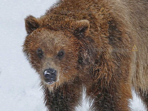 Grizzly Blizzard