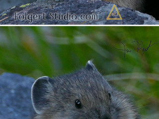 Evenings with a Young Pika