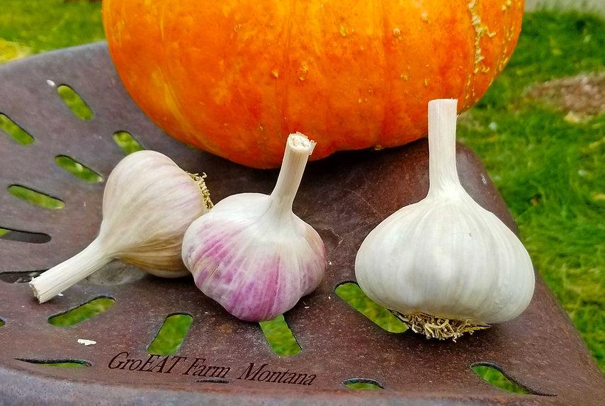 German Extra Hardy Porcelain Garlic, buy local garlic, buy organic garlic, buy quality garlic, garlic near me