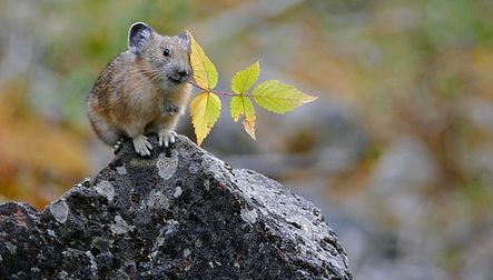 Juvenile American Pika with Raspberry Leaf