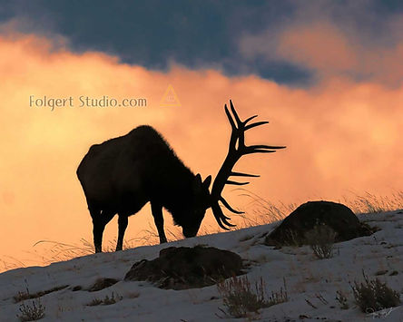 Bull Elk Antlers at Sunset