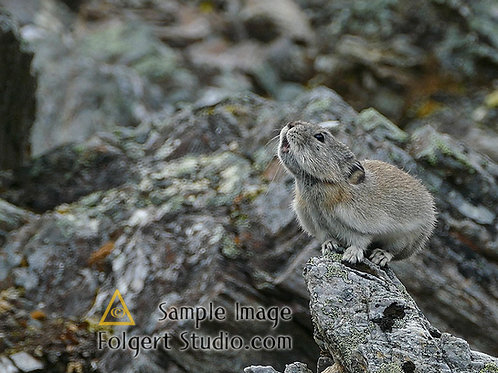 Collared Pika Call