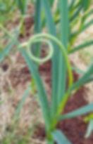 garlic scapes, garlic aioli, garlic pesto, recipies, potatoes, allergy, asparagus, honey, herb, seasoning, antibiotic, clove,  a clove a day, butter sauce, thyme, steak, benefits, salmon, chicken, bites, thailand, testament, festival shooting