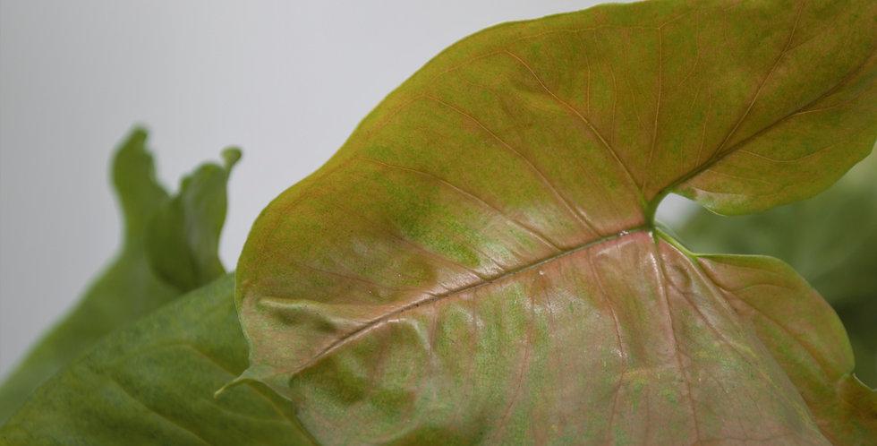 Syngonium 'Maria Allusion'