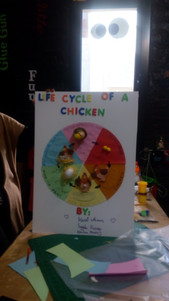 Life cycle of a chicken (309)