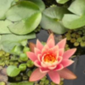 Beautiful lotus in a friend's garden pon