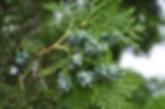 cypressplant.jpg