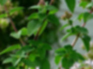 oreganoplant.jpg