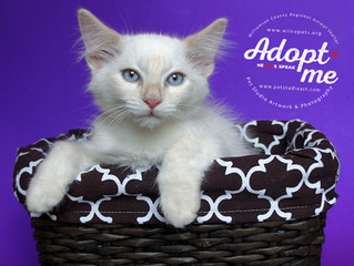 Cats of ATX: Wilco Shelter Photo Shoot