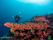 Indonesia Hard Coral with Anthias and Diver