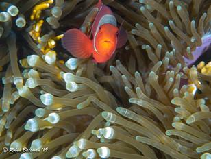 Indonesia Anemone Fish.jpg