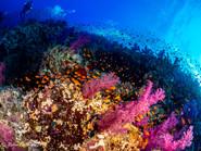 RedAnthias Red Sea.jpg