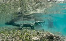 Salt Water Croc Posing