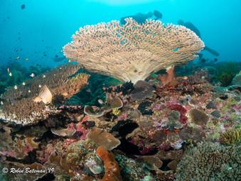 Indonesia Hard Coral Reef
