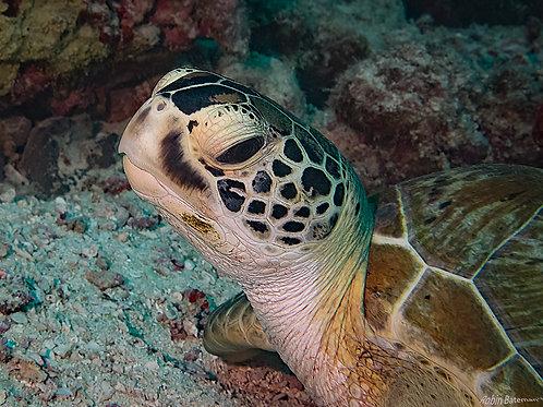 Turtle Head Shot - Raine Island GBR Australia