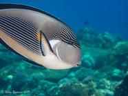 Sohal Surgeonfish Red Sea.jpg