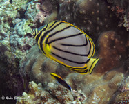 Indonesia Butterfly Fish